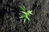 Thematic Photo To Legalize A Plant Hemp. Low Thc Technical Cultivar With No Drug Value. Cannabis See poster