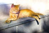 Red Cat On The Street, Red Tabby Longhair Furry Cat, Red Cat Basking In The Sun poster