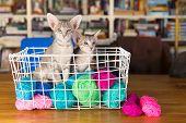 Blue Oriental shorthair kitten in wool basket poster