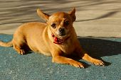 Cute Little Dog Lying Outdoors. Dog Outside. Chihuahua Dog.. Animals, Dogs Concept. Chihuahua Waitin poster