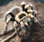 Giant Poisonous Hairy Spider Photographed Closely In The Amazon Rainforest poster