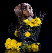 purebred miniature dachshund and dandelions poster