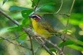 Rufous-capped Warbler - Basileuterus Rufifrons, Chestnut-capped Warbler - Basileuterus Delattrii  A poster