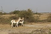 stock photo of horses ass  - two wild asses on the little rann of kutch in gujarat india