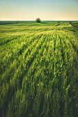 Wheat Field In Countryside. Sunset In Countryside Fields. Green Wheat Field. Ready To Harvest Wheat. poster