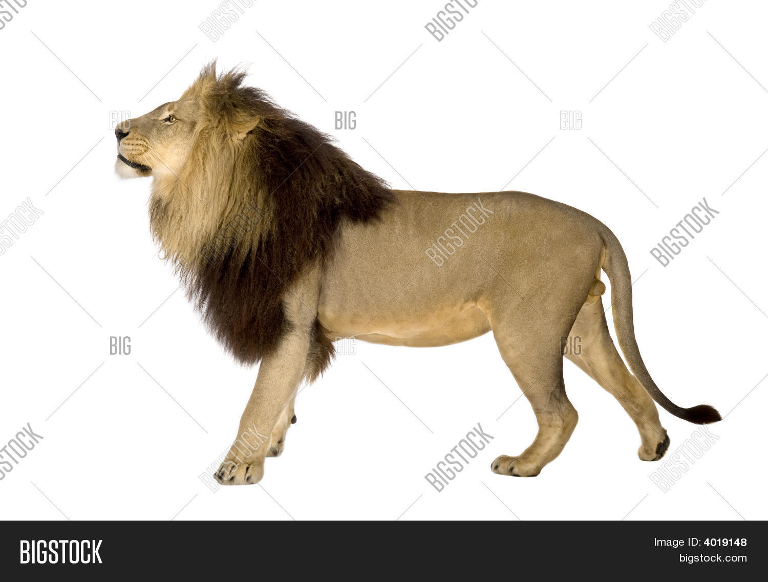 Lion, Side View In Front Of A White Background Stock Photo ...
