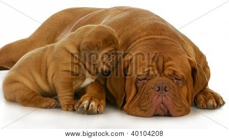 mother and puppy - dogue de bordeaux and four week old puppy isolated on white background
