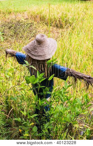 Scarecrow or strawman in demonstrated rice filed