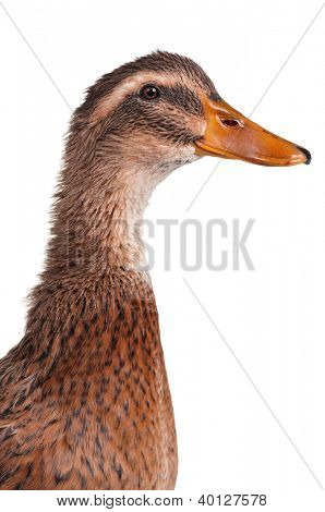 Young domestic duck isolated on white background