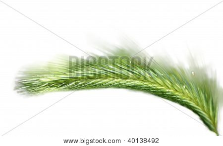 Green Ear