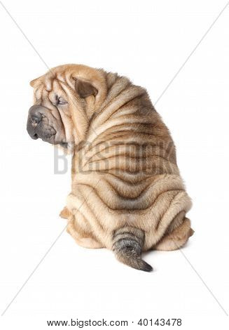 Portrait Of Sharpei Puppy