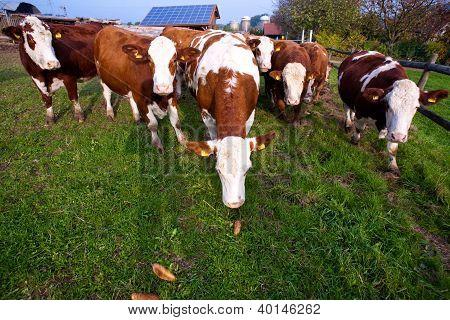 Cattles amigáveis em verde Granzing terra são fiel
