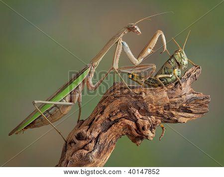 Mantis Touching Hopper