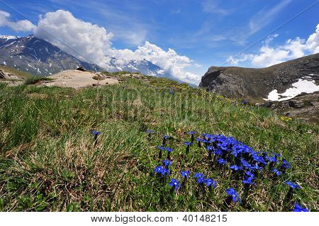 Gentian Primaticcia In Mountain