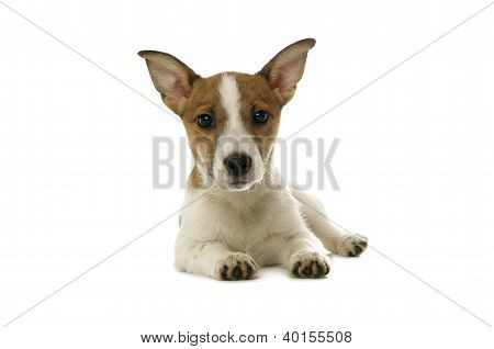 Jack Russell Terrier Laid Isolated On A White Background