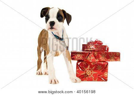 Boxer Puppy Stood Next To A Pile Of Christmas Presents