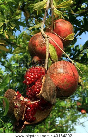 Red Pomegranades