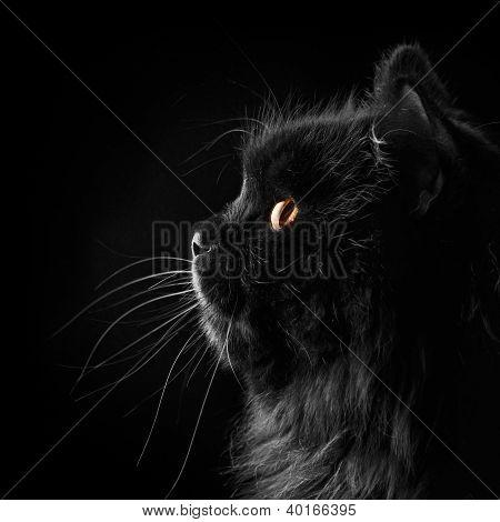 Black Persian Cat On Black Background