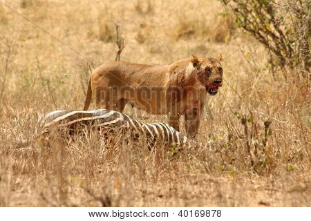 Bloody Lioness Stands Over Zebra Kill
