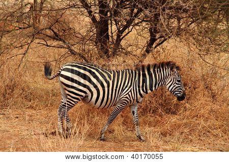 Lone Zebra In The Bush
