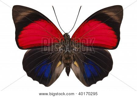 Butterfly species Agrias claudina lugens