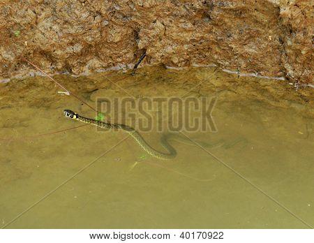Swimming Grass Snake