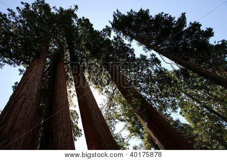 Sequoia Row