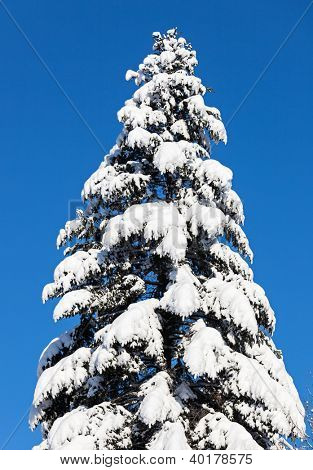 Spruce top covered by hard snow in front of blue sky