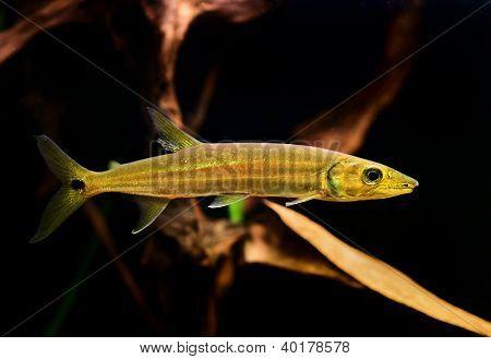 Freshwater Barracuda fish (Ctenolucius hujeta) swimming underwater