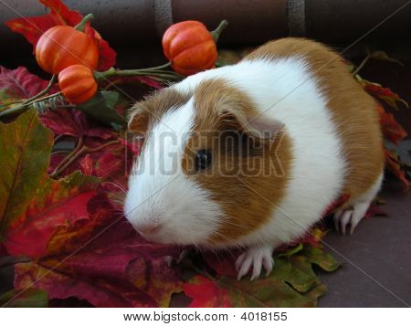 Cute Autumn Guinea Pig