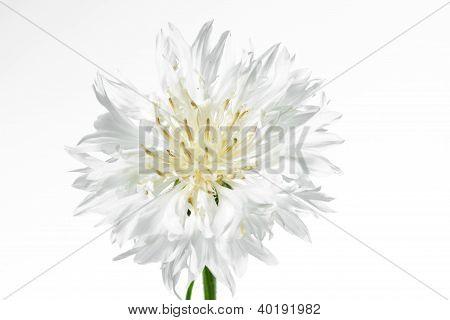 Blooming white corn flower (Centaurea cyanus) on white