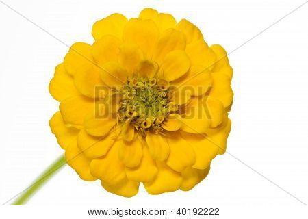 Yellow Zinnia (Zinnia violacea) isolated on white