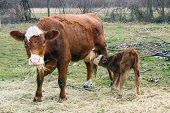 stock photo of calf  - Mother cow nursing baby calf while chewing on straw - JPG