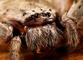 foto of huntsman spider  - a closeup of a huntsman spider - JPG