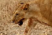 foto of life after death  - Head shote of a Lioness  - JPG