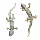 picture of gekko  - Tokay gecko  - JPG