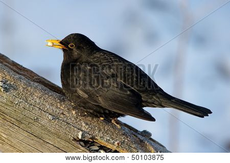 Common Blackbird (Turdus Merula) With A Peanut In The Beak