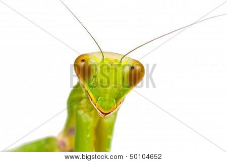 Portrait of female European Mantis