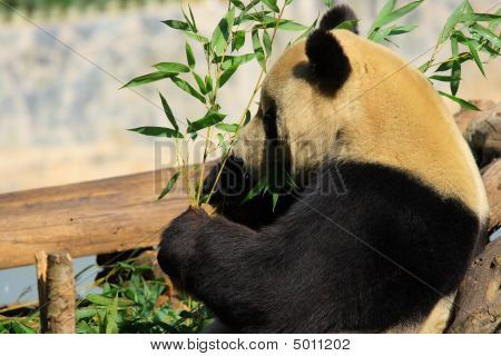 Endangered Animal Giant Panda