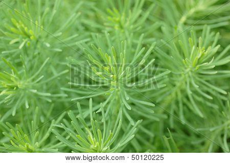 Leaves of  Euphorbia or spurge