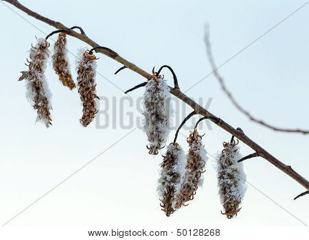 Winter Nature Fragment. Dry Flowers On Sallow Bush Covered With Ice And Snow