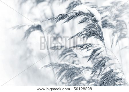 Dry Coastal Reed Cowered With Snow, Monochrome Nature Background