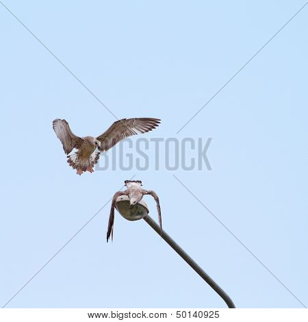 Juvenile Gulls Fighting