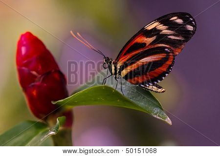 Heliconius butterfly orange black