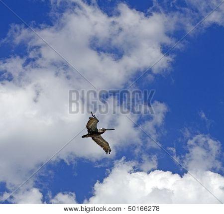 blue sky pelican