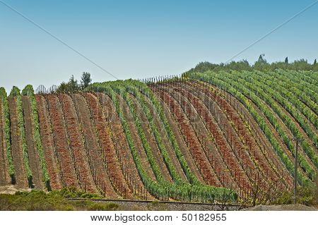 Grapes Harvesting - Vineyards