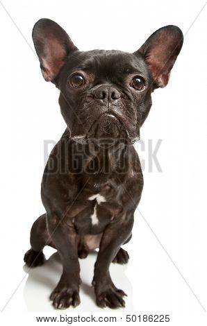 cute french bulldog isolated on white