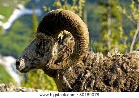 Bighorn Headshot