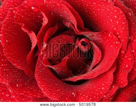 Red Rose And Drops