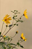 stock photo of jerusalem artichokes  - Jerusalem artichoke flowers close up in summer - JPG